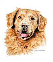 Tolling retriever Chip, colored pencil by LeontinevanVliet