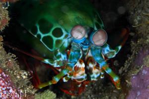 Peacock Mantis Shrimp too