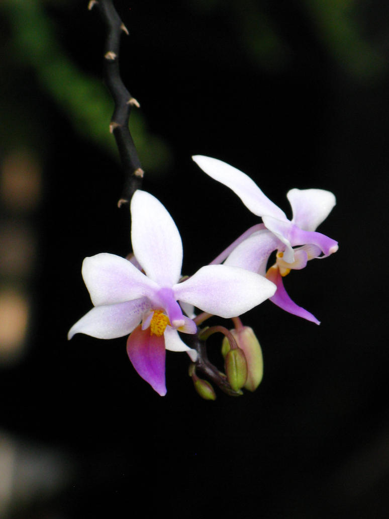 Orchid 3 by intouch
