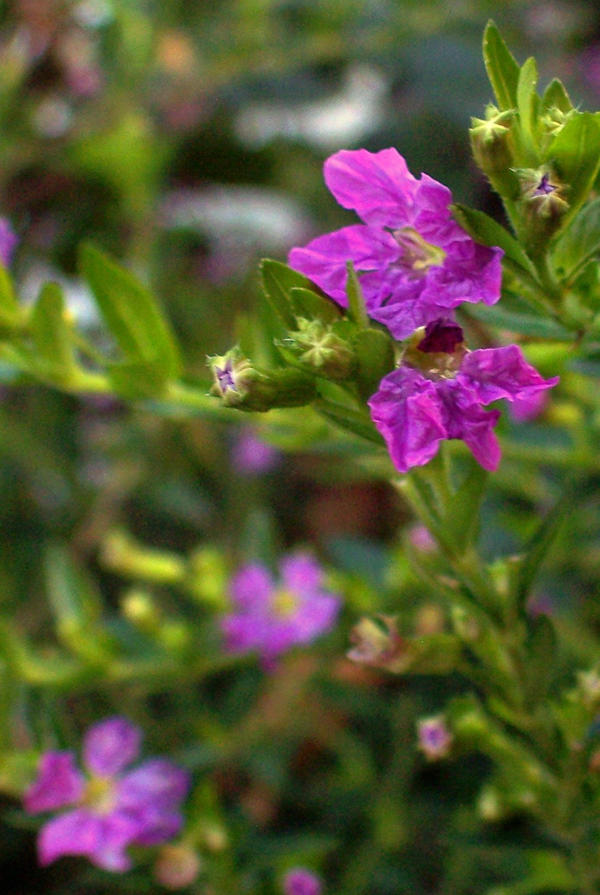 Mexican Heather 1 by intouch