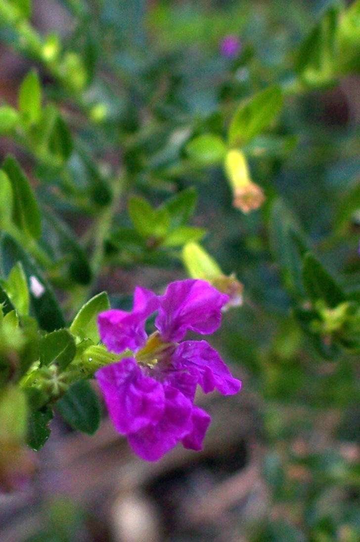 Mexican Heather 2 by intouch