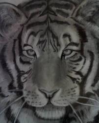 Tiger by Carlostdm