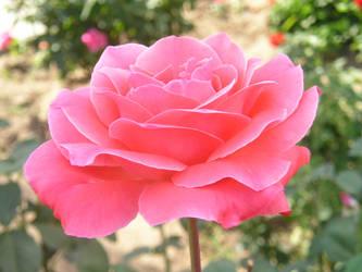 Rose of a rose
