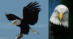 Eagle study by PeterPrime