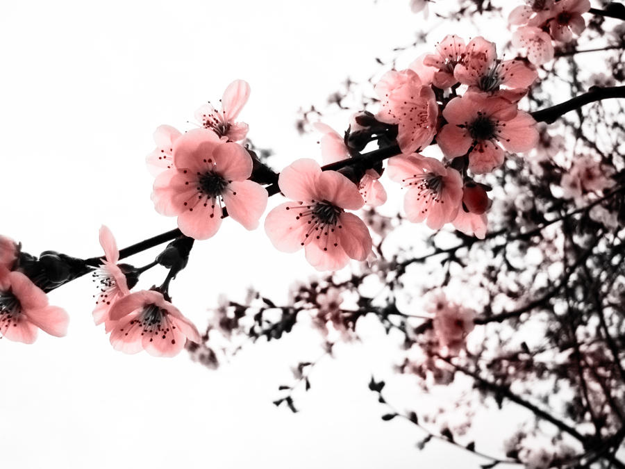 Cherry Blossoms by kumagoro4ever
