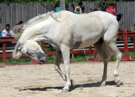 Andalusian 4 by roar-shack-stock