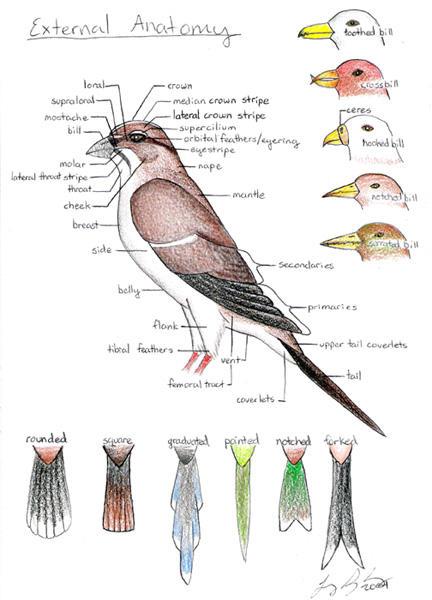 External Anatomy of a Bird by Lakota-Phoenix on DeviantArt