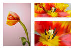 Tulip Compilation - ACM