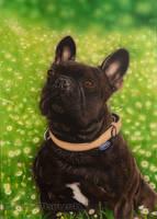 French Bulldog Byron by Color3brush