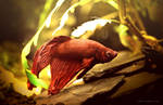 Blackwater Betta