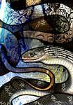 Keeled Rat Snake