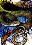 White-Bellied Rat Snake