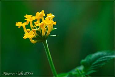 Yellow flower by francescovilla