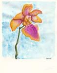 Constantia Orchidaceae Mediocris