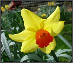 Sunny Daffodil by cat-man-info
