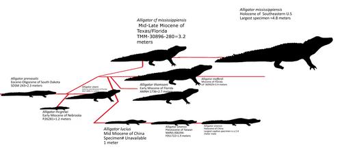Simplified Alligator evolutionary history