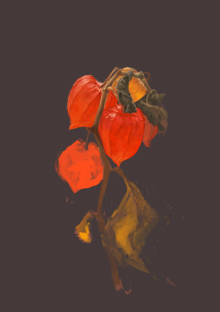 Physalis by thomke