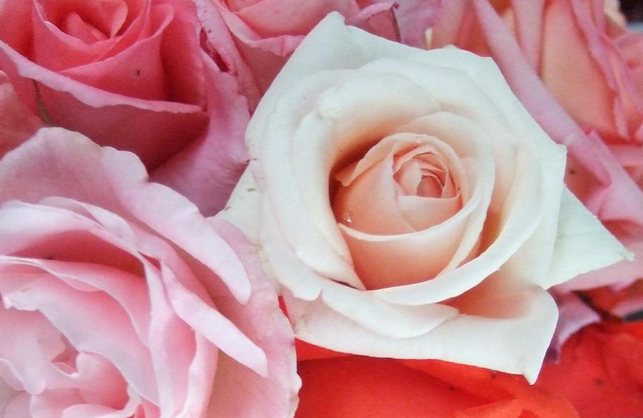 Roses II by 101gleek101