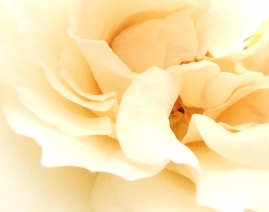 The Rose by 101gleek101