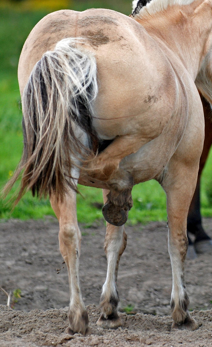 Horse anatomy: hind leg up by jiphorse-stock on DeviantArt