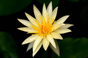 Water Lily by vids
