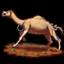 MMM 2020- Australian Feral Camel round 3