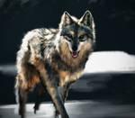 Wolf photo study