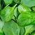 Icon - Spinach by fmr1