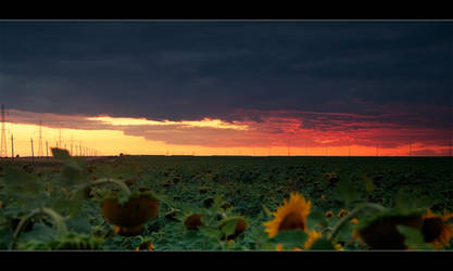 Sun flower field by iustyn