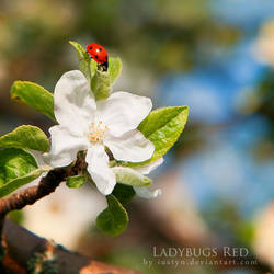 Ladybugs Red by iustyn