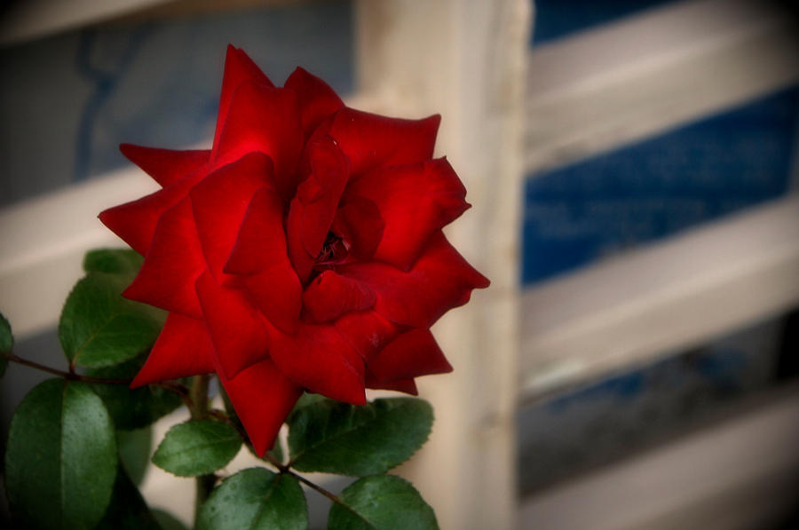 Summer Rose by AmethystUnderwood
