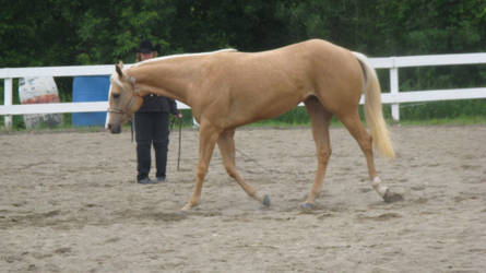 Palomino 002 by vorbei-horse-stock
