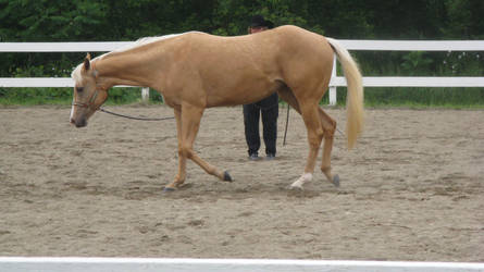 Palomino 003 by vorbei-horse-stock