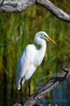 Great White Egret by xSpiritPawsx