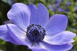 'Purple Flower' by Boran-Tatli