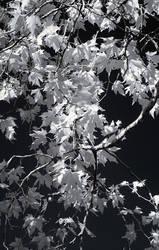 Snow leaves