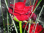 Some Roses for you...