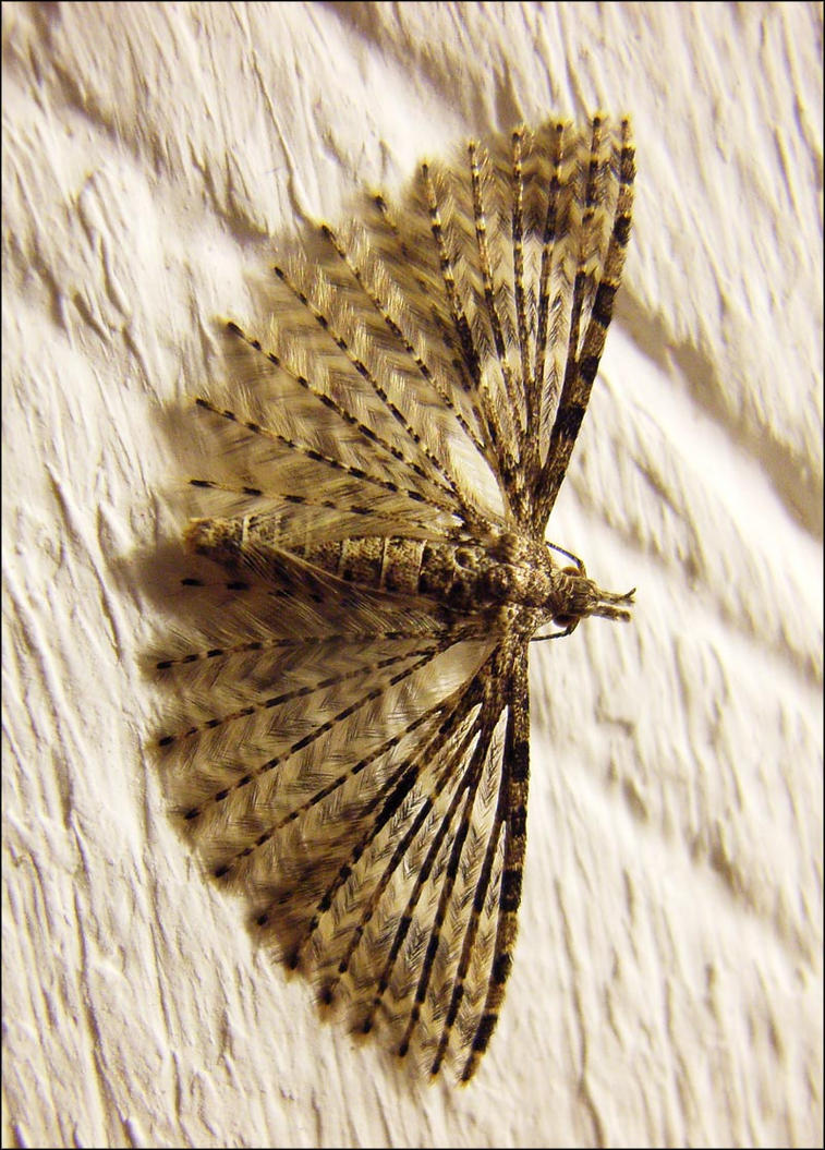 Plume Moth by Hippopottermiss