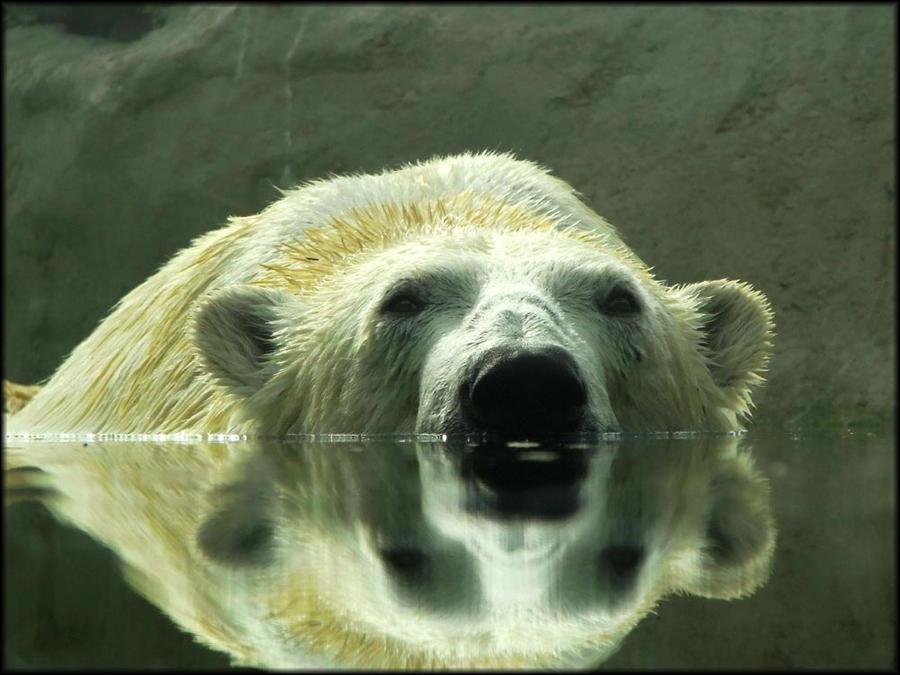 Polar-oid by Hippopottermiss