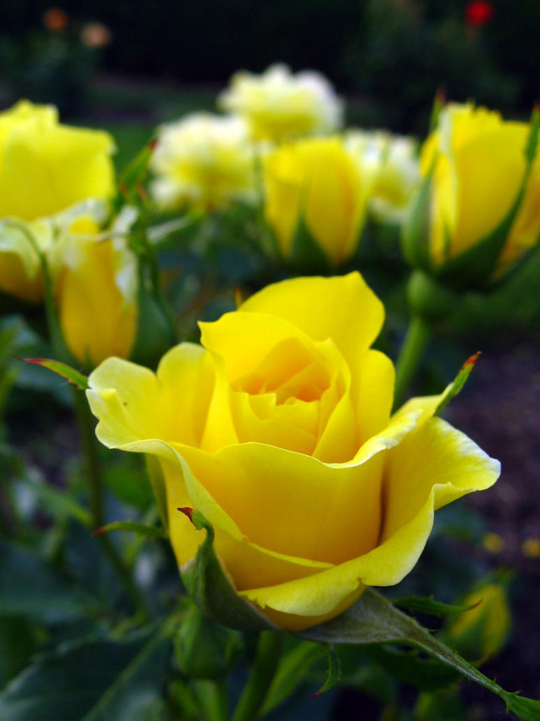 Roses In Garden: Yellow Roses By Curliekt On DeviantArt
