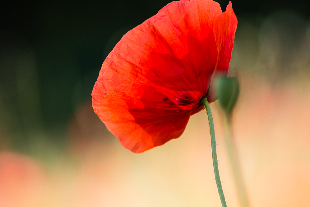 Mohn by pillendrehr