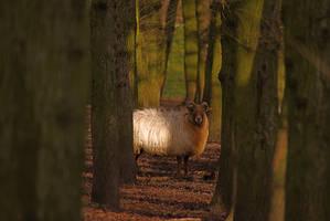 Sheep by RobbertK