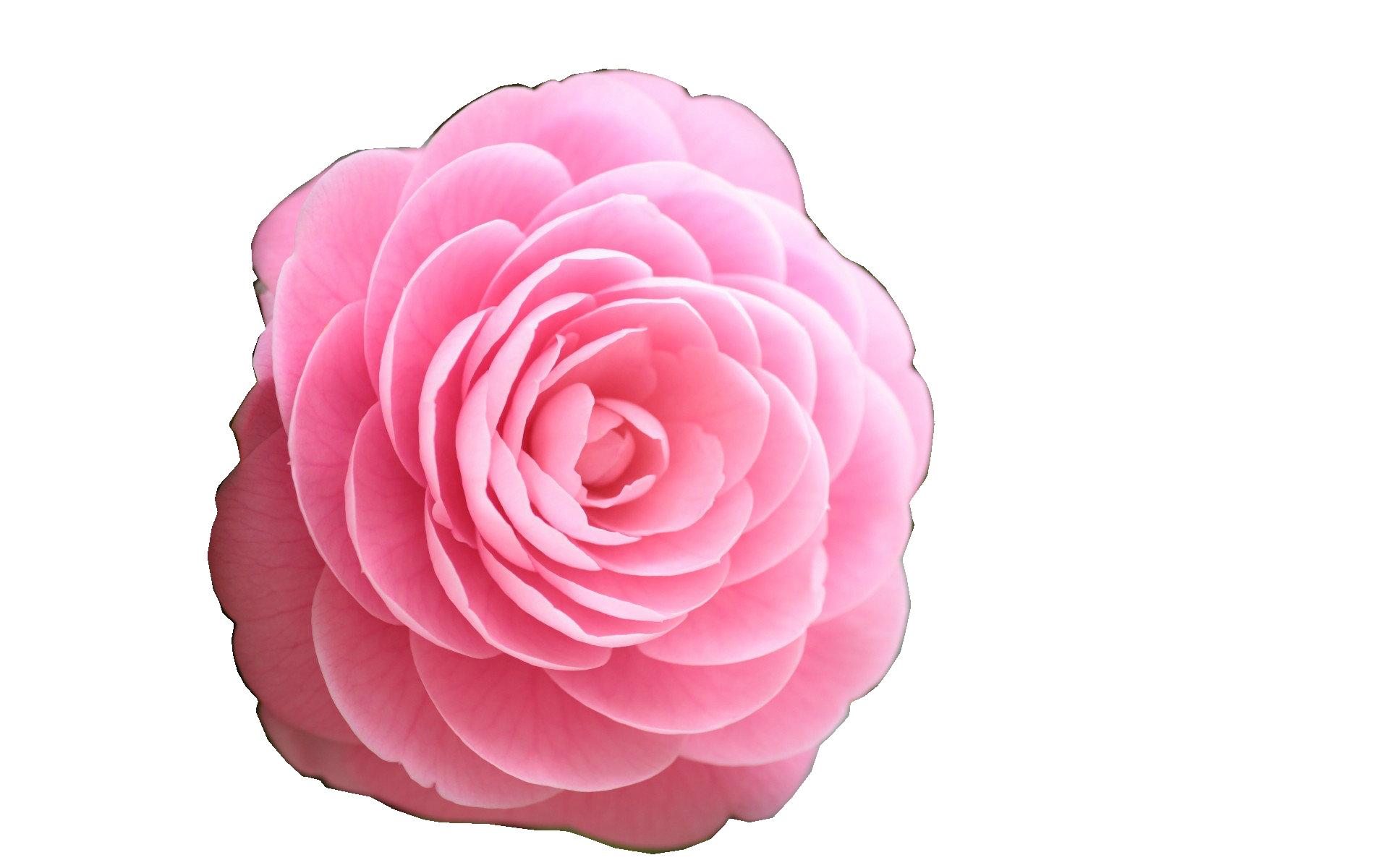 pink rose clip art dothuytinh. Black Bedroom Furniture Sets. Home Design Ideas