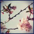 cerisier en fleur vintage