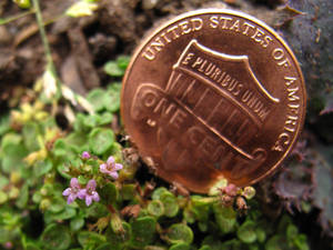 Thyme and money - 3271