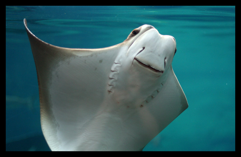 Cownose Ray by darthpayback
