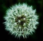 dandelion clock macro