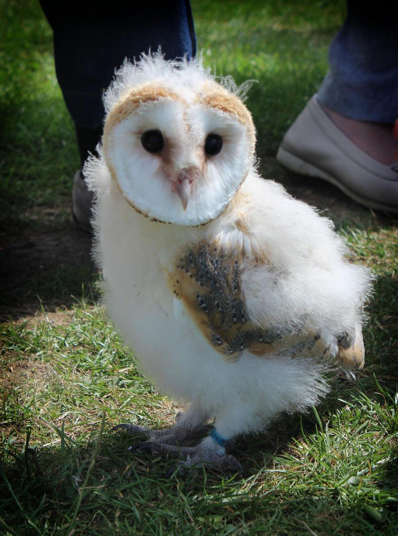 Cute baby white owl - photo#24