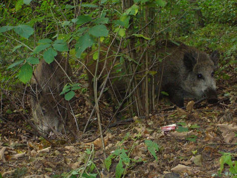 Some Wild boars