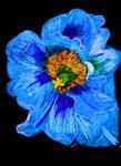 Bright Blue Poppy by CezLeo